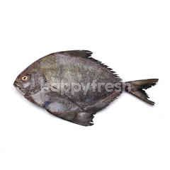 Fresh Ikan Bawal Hitam (Black Pomfret)