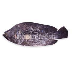 Seabass Fish