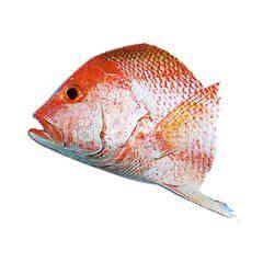 Fish Snapper Head