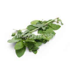 Spearmint Herbs
