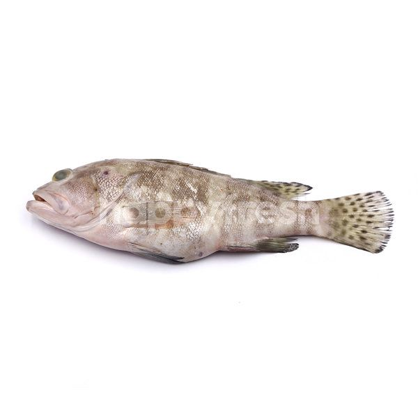 Grouper (Ikan Kerapu)