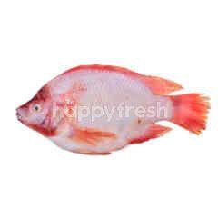 Red Tilapia (Talapia Merah) M