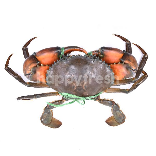 Product: XXL Mud Crab (Live/Unclean) - Image 2