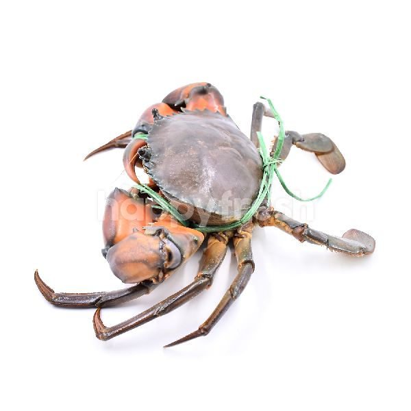 Product: XXL Mud Crab (Live/Unclean) - Image 3