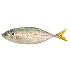 Como Mackarel Fish
