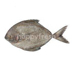 Ikan Bawal Hitam