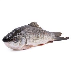 Whole Rohu Fish (Lohu)
