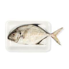 Ikan Kuwe Sedang