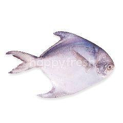 Ikan Bawal Putih