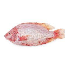 สิริคุณ ปลาทับทิมทะเล 1 ตัว