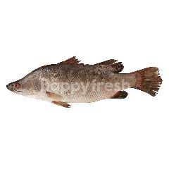 บิ๊กซี ปลากระพงขาว