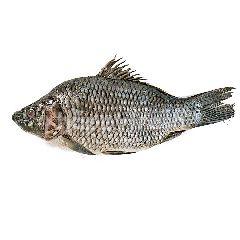 Ikan Mas Hidup