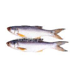 Ikan Kuro