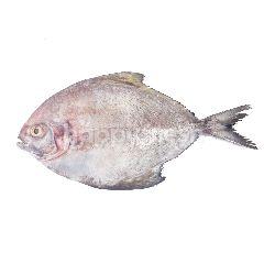 Ikan Bawal Air Tawar