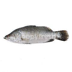 Ikan Kakap Putih Kecil