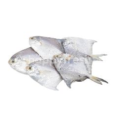 Silver Promfret (Small)