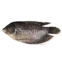 Ikan Gurame Hidup