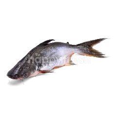 River Cat Fish (Patin)