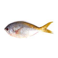 Ikan Ekor Kuning
