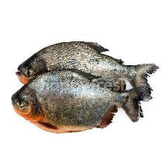 Ikan Bawal Merah