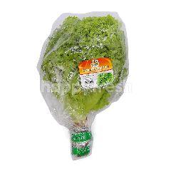 Fresh Ever Cameron Lettuce (Salad Cameron) ~300g