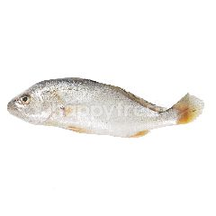 Ikan Kuwe Lilin