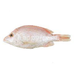Ikan Kakap Merah Kecil