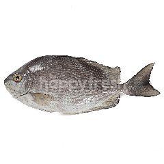 Ikan Baronang Tulis