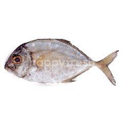 Ikan Kuwe Gepeng