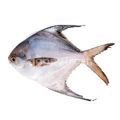Ikan Bawal Putih Besar