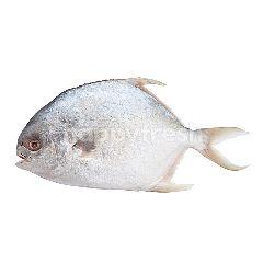 บิ๊กซี ปลาจาระเม็ดทอง (ตัว)