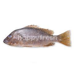 Golden Snapper (Ikan Jenahak)