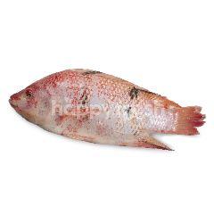 Ikan Nila Hidup