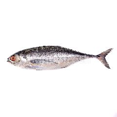 Hardtail (Ikan Cencaru)